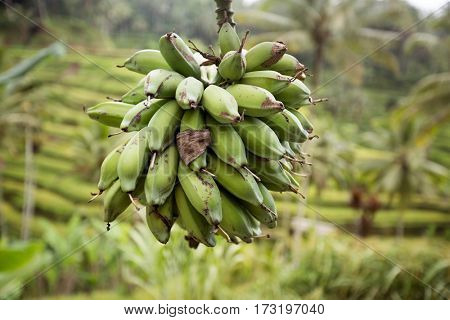 Unripe bananas on tree in the jungle close up