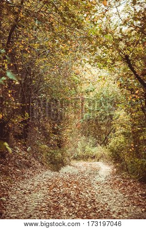 Path leading among the beech trees in early autumn forest. Fresh colors of leaves, yellow green leaves on trees shinning in afternoon sun.