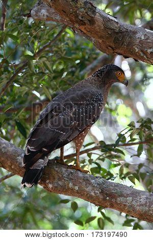 Crested serpent eagle Spilornis cheela spilogaster national park Wilpattu Sri Lanka eagle sitting on the branch