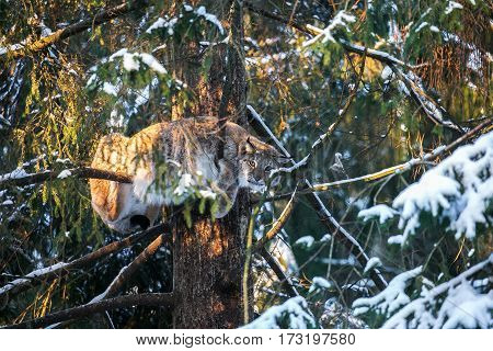 Eurasian Lynx tree branch in a Winter Forest. Daytime in a Lithuanian forest.