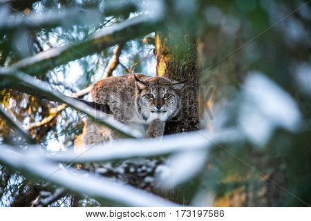 Eurasian Lynx in a Winter Forest in a summer day