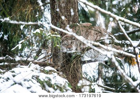 Eurasian Lynx Hunting in a Winter Forest. Daytime in a Lithuanian forest.