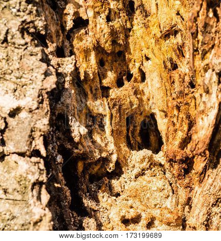 Closeup of large woodpecker hole in the side of a decaying tree