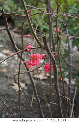 The first signs of spring - bright red flowers on a bush at Granada Andalusia Spain.