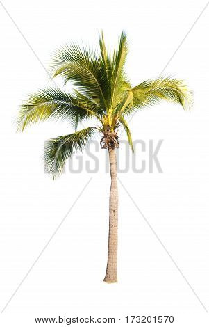 Coconut or palm tree isolated on white backgrond