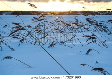 Landscape with bulrush and snow. Russian nature at sunset