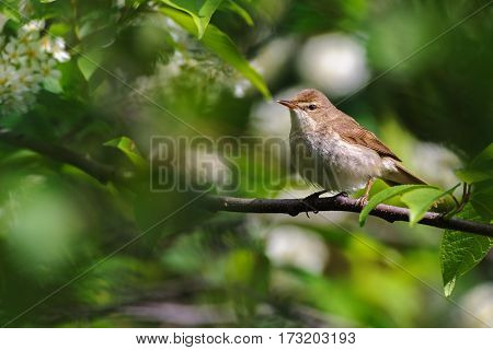 Portrait of  Blyth's reed warbler on a branch of the  bird-cherry tree in spring, Russia