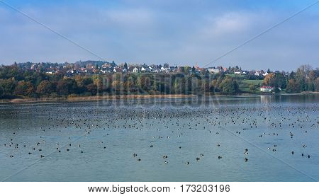 Common pochard (Aythya ferina) wintering on the lake Bodenzee, Germany