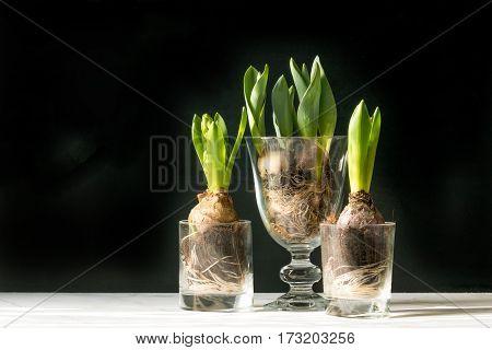 Hyacinth Flowers, Studio Shot