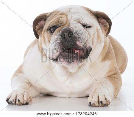 bulldog with funny expression laying down on white background