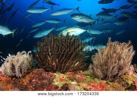Tuna fish in ocean on coral reef