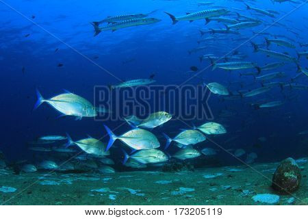 Trevally and barracuda fish
