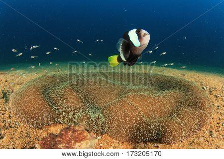 Clarke's Anemonefish,anemone, fish