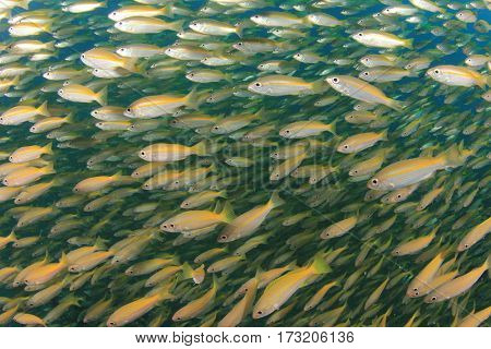 Fish in sea. School Snapper fish. Yellow snappers