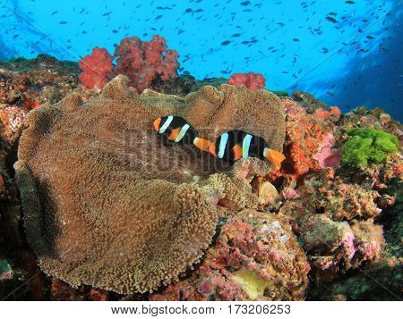 Anemonefish anemone fish on underwater reef