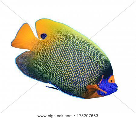 Fish isolated white background. Blue-faced Angelfish
