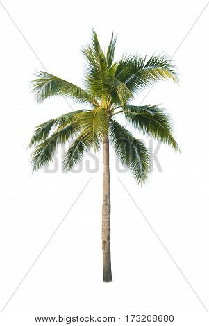 Coconut or palm trees isolated on white backgrond