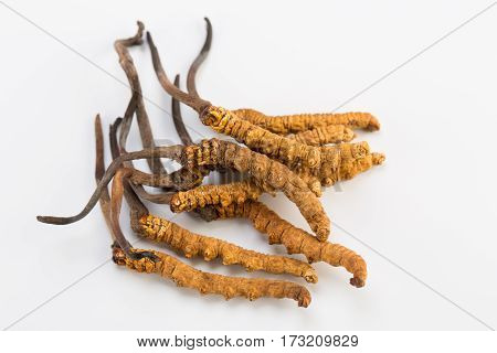 Yarsagumba Ingredient used in Traditional Chinese Medicine Yartsa Gunbu isolated on white background - Cordyceps sinensis