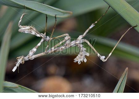 Lavendar Mantis