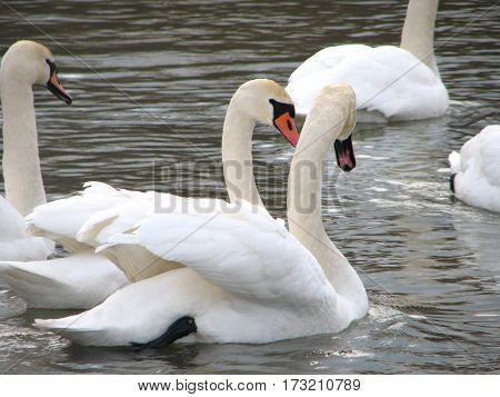white swans floating the river  water closeup