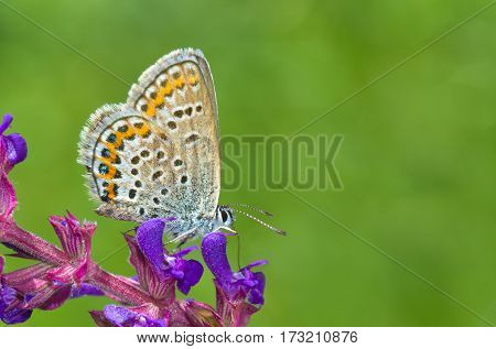 Common Blue (Polyommatus icarus) butterfly on a wild flower against bottle-green background.