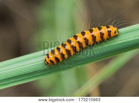 Tiny orange caterpillar with black stripes on a green leaf.