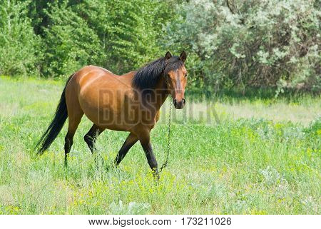 Chestnut horse (mare) is ambling on a spring pasture.