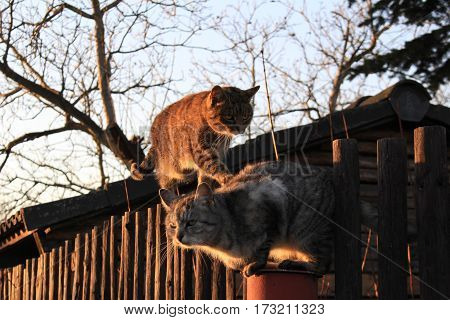 Cat´s on fence / These are two cat´s in the country.