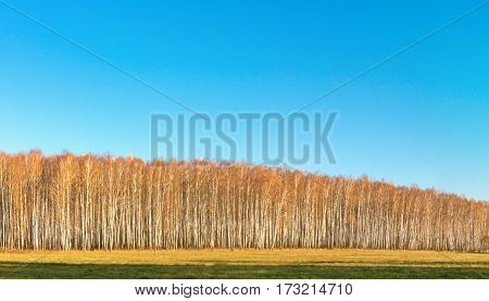 white birch grove on blue sky in early spring.