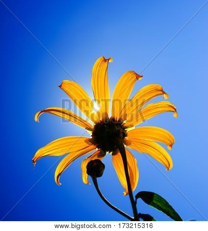 Mexican Sunflower At Sunny Day