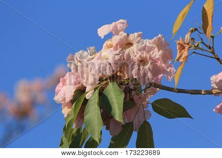 Tabebuia rosea pink flowers bloom beautifully photographed apparently blurred