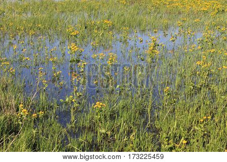 Wet meadow with yellow marsh marigold flowers