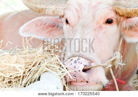 portrait image of albino buffalo in farm