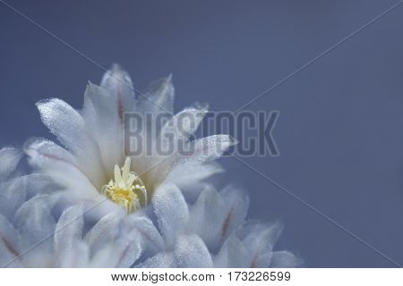 flower white-blue on blue background. The petals shine in the sun. Close-up. flower composition. Nature.