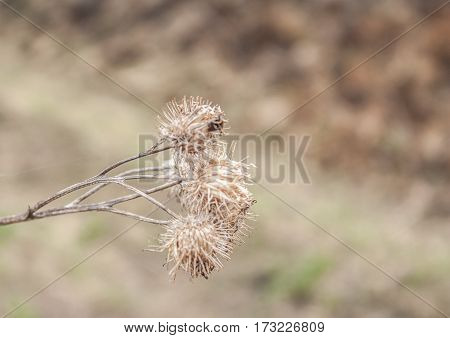 Dry prickly fruit on thin branches bush without leaves