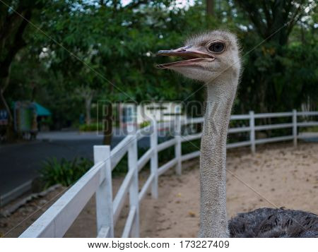 Closeup ostrich bird head standing in open zoo from thailandselective focus ostrich bird head and neck.