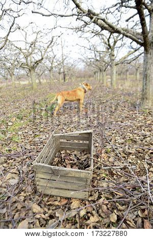 Old Wooden Crate With Leaves And Dog In An Apple Orchard In Winter
