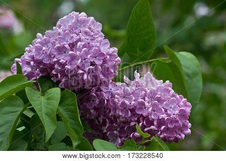 sprig of flowering purple lilacs on a bush closeup