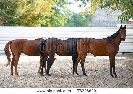 Horses in arena. Beautiful horses on farm