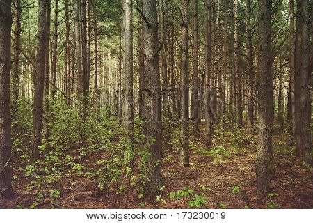 Dark moody forest with pine trees, natural outdoor vintage background