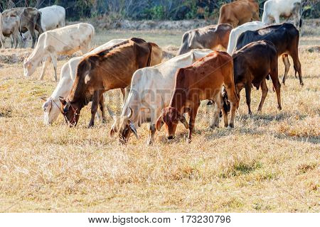 Cows grazing on pasture in farm thailand.
