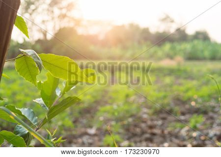 Birch branches green leaf in the sun light flare with cassava agriculture blurry background