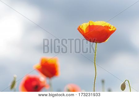 The red poppies on blue sky background
