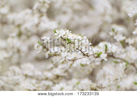 Spring seasonal background with blooming plum tree branches, natural seasonal floral background