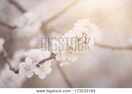 Apricot tree flower with buds and blossoms blooming at springtime, vintage retro floral background with sun rays