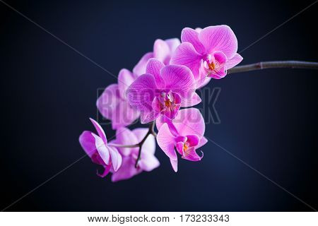 beautiful white orchid branch on an black background
