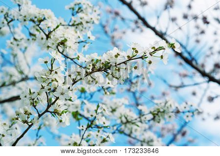 Blossoming of cherry flowers in spring time against blue sky, natural seasonal background
