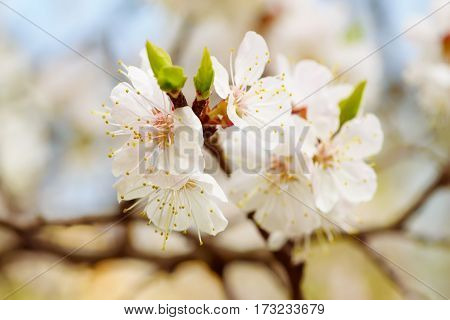 Apricot tree flowers blooming at springtime, vintage retro floral background