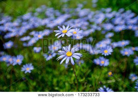 Many Purple flowers on a green field