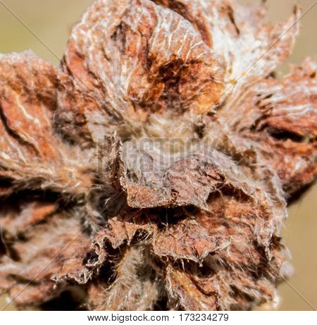 dried fruit on thin branches bush without leaves